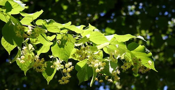 Für mehr Grün im Dorf – SPD pflanzt den Baum des Jahres 2016