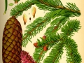 Illustration_Picea_abies0
